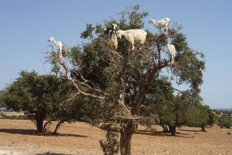 木登りヤギ写真