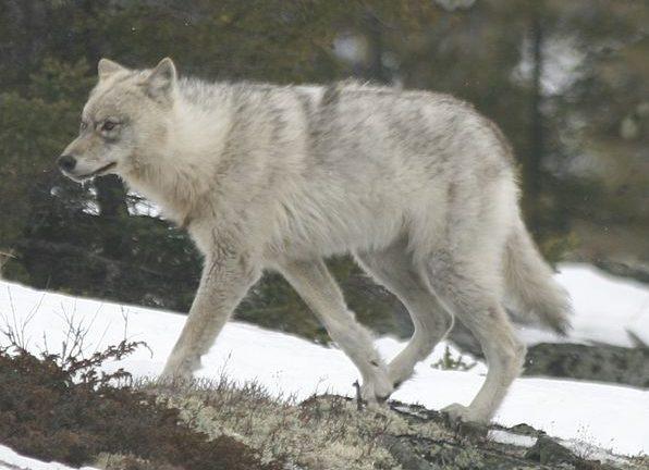 ネブラスカオオカミ