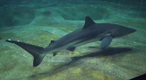 クロヘリメジロザメ