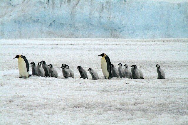 コウテイペンギン親子