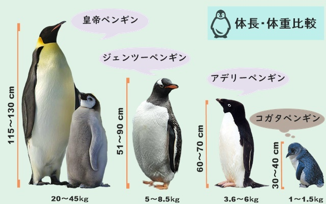 コガタペンギン比較2