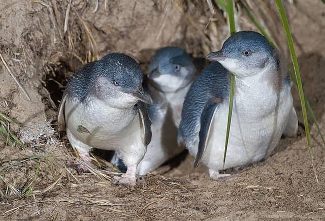 コガタペンギン1